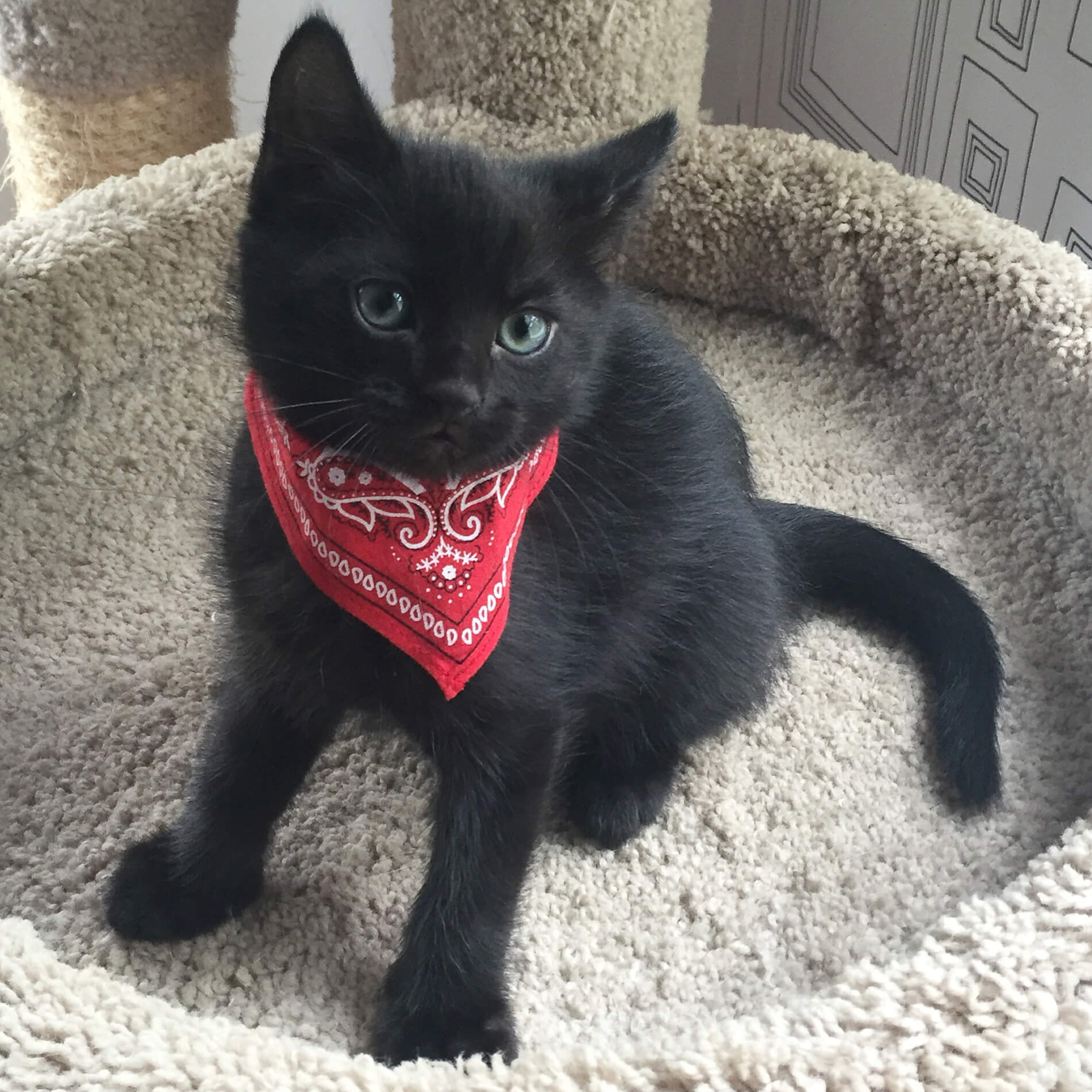 Providence Animal Center black kitten with a scarf
